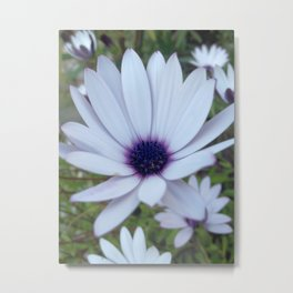 White Osteospermum Flower Daisy With Purple Hue Metal Print