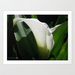 Zantedeschia named Crystal Blush Art Print