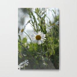 Irish daisy Metal Print