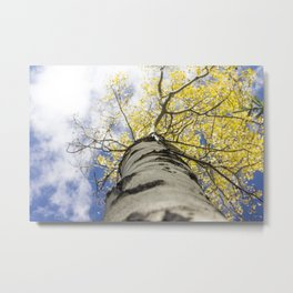Look Up From Here / Aspen Tree Trunk Metal Print