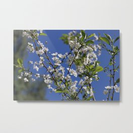 Cherry blossom and blue sky Metal Print