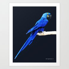 Hyacinth Macaw parrot Art Print