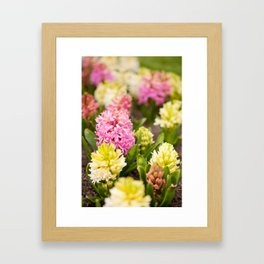 Hyacinthus blooming pink and white Framed Art Print