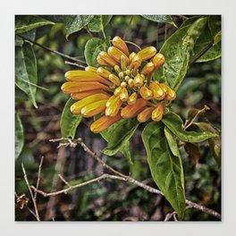 Beautiful buds of orange trumpet flower Canvas Print