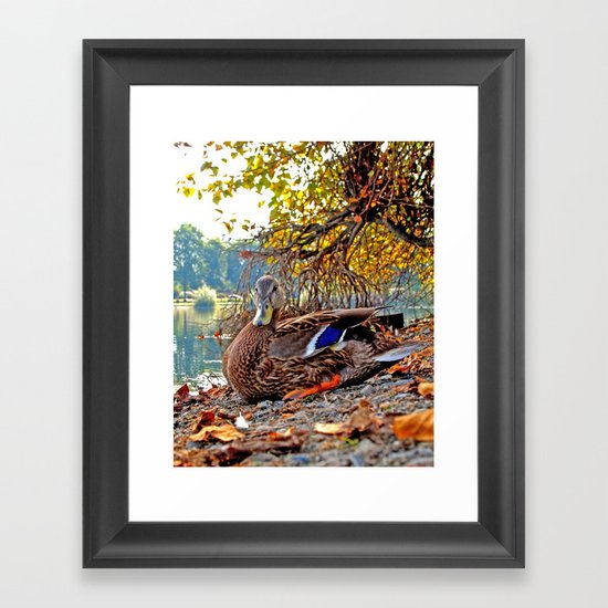 Autumn lake duck Framed Art Print