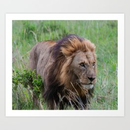 Lion of Masai Mara Art Print