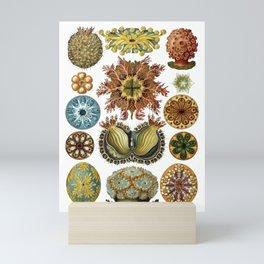 Ernst Haeckel Ascidiae Sea Squirts White Background Mini Art Print