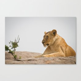 Lioness on a Rock Canvas Print