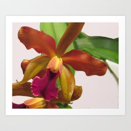 Cattleya Cardamom Orange Art Print
