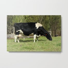 Holstein Cow in a Meadow Metal Print