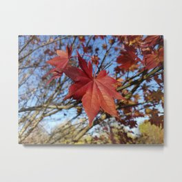 Maple leaf center stage Metal Print