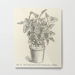 The fruit grower's guide  Vintage illustration of pot vine grapes Metal Print