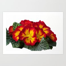 isolated primroses in spring season Art Print