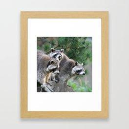 Raccoon_001_by_JAMFoto Framed Art Print