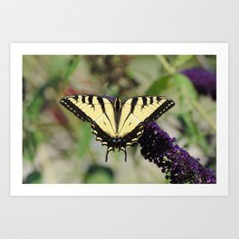 Awesome Shot of a Eastern Tiger Swallowtail Art Print