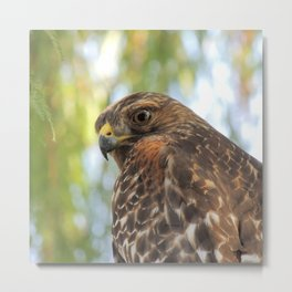 Young Red-Shouldered Hawk in a Desert Willow Metal Print