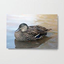 Sleepy Duck Metal Print