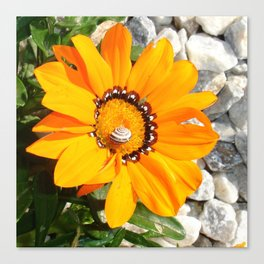 Bright Orange Gazania Flower with Snail Canvas Print