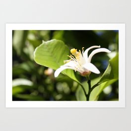 Lemon flower Art Print