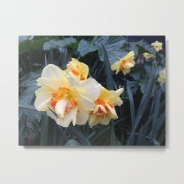 Daffodil companions Metal Print