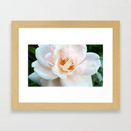 Finale - Last White Rose of the Summer Framed Art Print