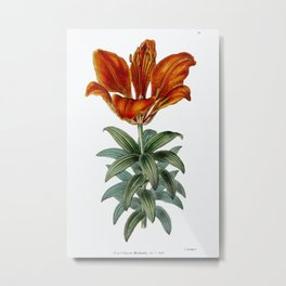 Blood red lily from Edwards's Botanical Register (1829—1847) by Sydenham Edwards, John Lindley, and Metal Print