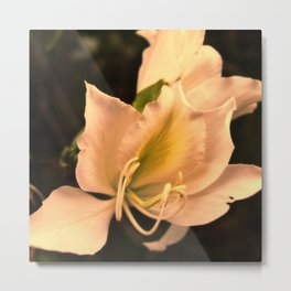 Bauhinia in golden light Metal Print