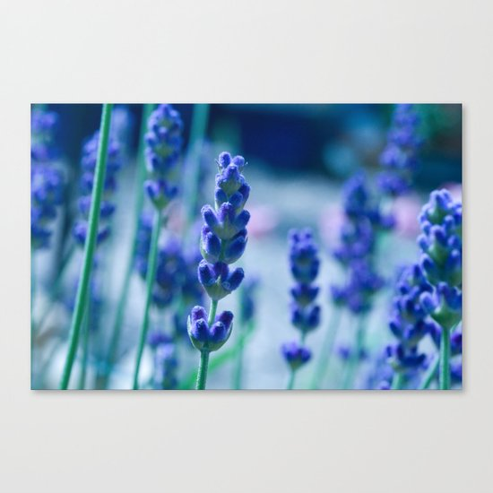 A Touch of blue - Lavender #1 Canvas Print
