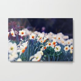 Spring Narcissus - Daffodils Metal Print