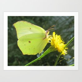 Brimstone butterfly and yellow flower Art Print