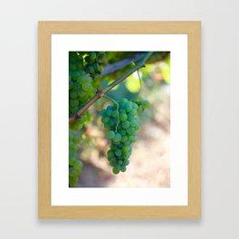 Sauvignon Blanc Grapes on the Vine Framed Art Print