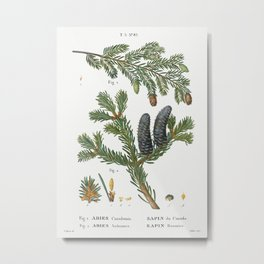 Eastern hemlock, Abies Canadensis and Balsam fir, Abies balsamea from Traité des Arbres et Arbustes Metal Print