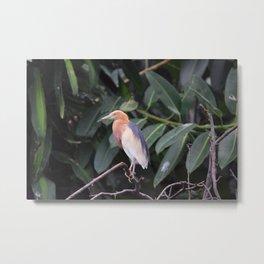 National Aviary - Pittsburgh - Javan Pond Heron Metal Print