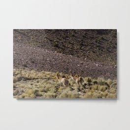 Wild Alpacas Metal Print