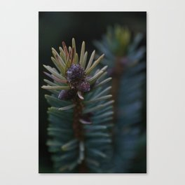 Spruce Tips Canvas Print
