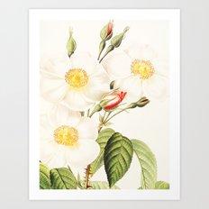 III. Vintage Flowers Botanical Print by Pierre-Joseph Redouté - Rosa Damascena Subalba Art Print