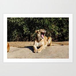 Lioness Growling Art Print