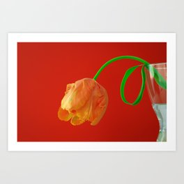 Orange Tulip on Red Art Print