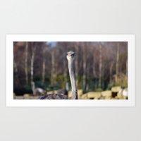 ostrich Art Prints featuring Ostrich by JBuck