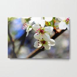 Callery Pear Blossoms Metal Print