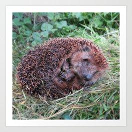 Erinaceidae,small hedgehog, wild living, sleeping in the grass Art Print