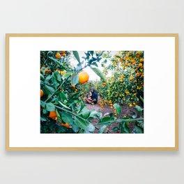 Valencian Orange Grove Framed Art Print