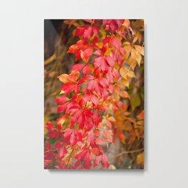 Vitaceae family red plant Parthenocissus quinquefolia vine Metal Print