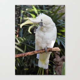 Sulfur-Crested Cockatoo Salutes the Photographer Canvas Print