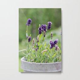 Lavender flower in tin pot Metal Print