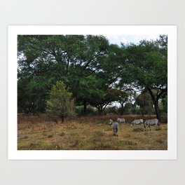 Zebras. Art Print