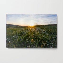 Daisies at Sunset  Metal Print