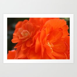 Orange Garden Rose from Butchart Gardens Art Print