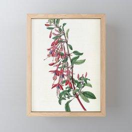 Flower 1805 fuchsia discolor Port Famine Fuchsia18 Framed Mini Art Print