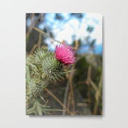 Beautiful pink thistle growing wild Metal Print
